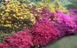 rhododendron mix