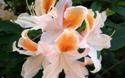 rhododendron white yellow