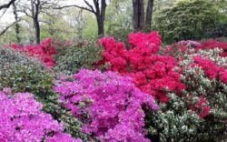 rhododendron woodland
