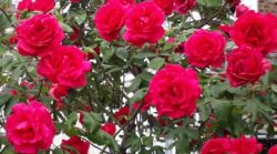 rose 3